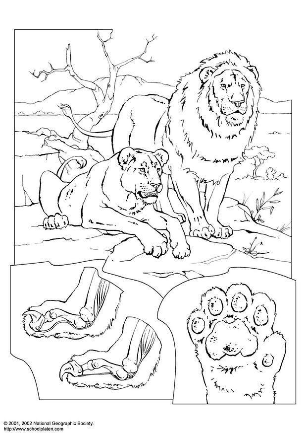 Malvorlage Löwen | Ausmalbild 3067.