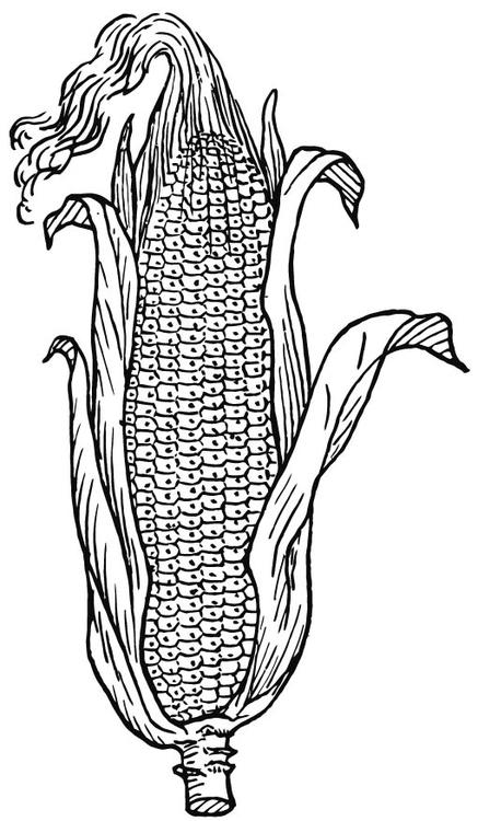 Malvorlage Mais | Ausmalbild 15719.