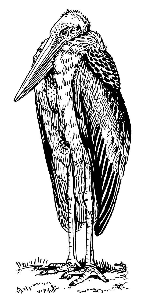 malvorlage marabou  ausmalbild 15723