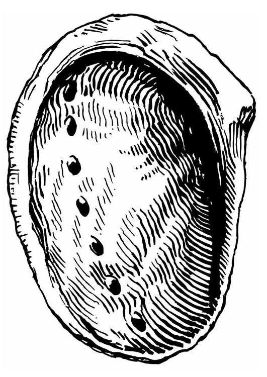 Muschel malvorlage  Malvorlage Muschel - Ohrmuschel | Ausmalbild 19641.