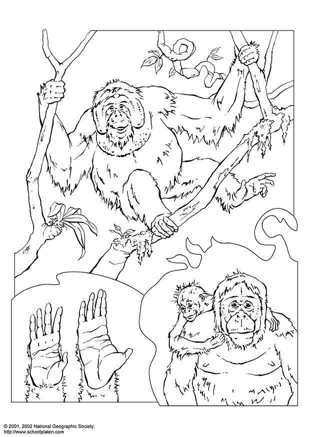 Malvorlage Orang-Utan | Ausmalbild 3072.