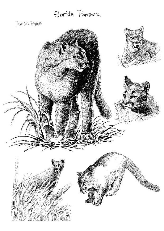 Malvorlage Panther Ausmalbild 8558