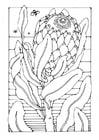 Malvorlage  Protea