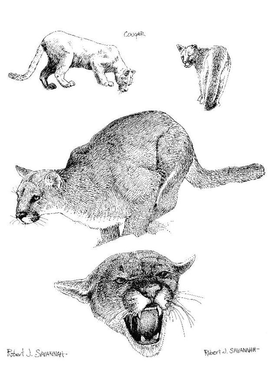 Malvorlage Puma Ausmalbild 8546