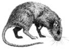 Malvorlage  Ratte