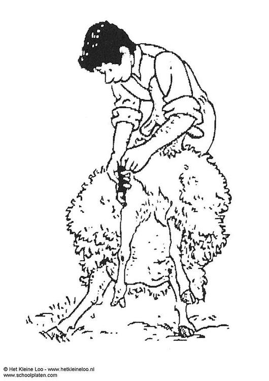 Malvorlage Schafe scheren | Ausmalbild 3742.