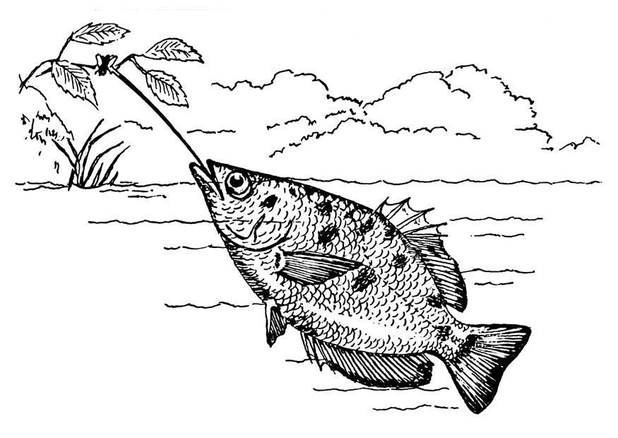 Malvorlage Schützenfisch | Ausmalbild 18753.