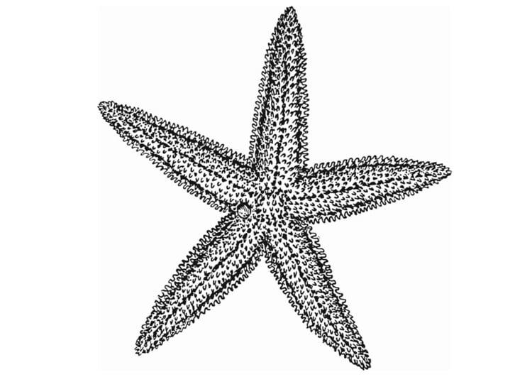 Malvorlage Seestern Ausmalbild 13077