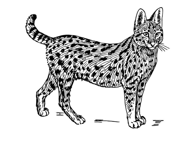 Malvorlage Serval Ausmalbild 15764
