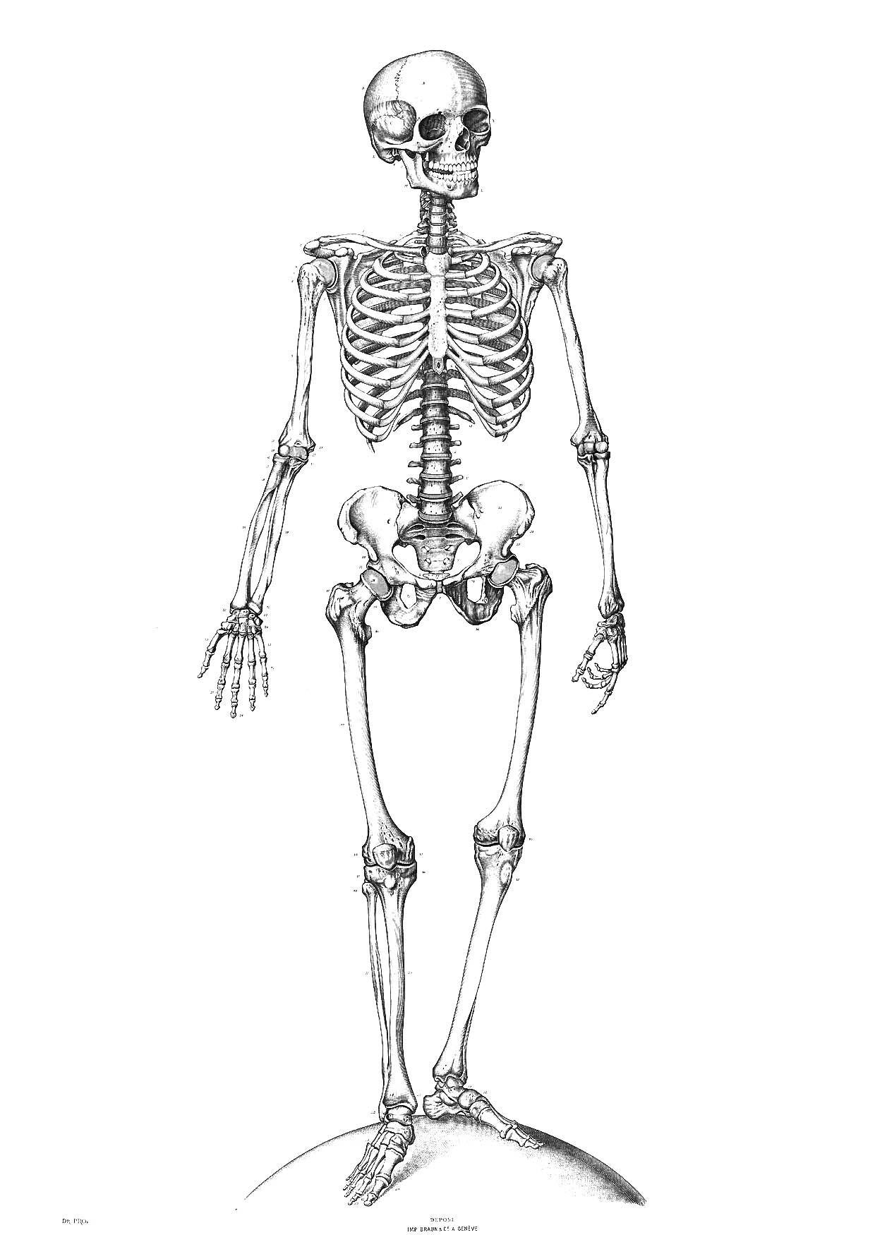 Malvorlage Skelett | Ausmalbild 9340.