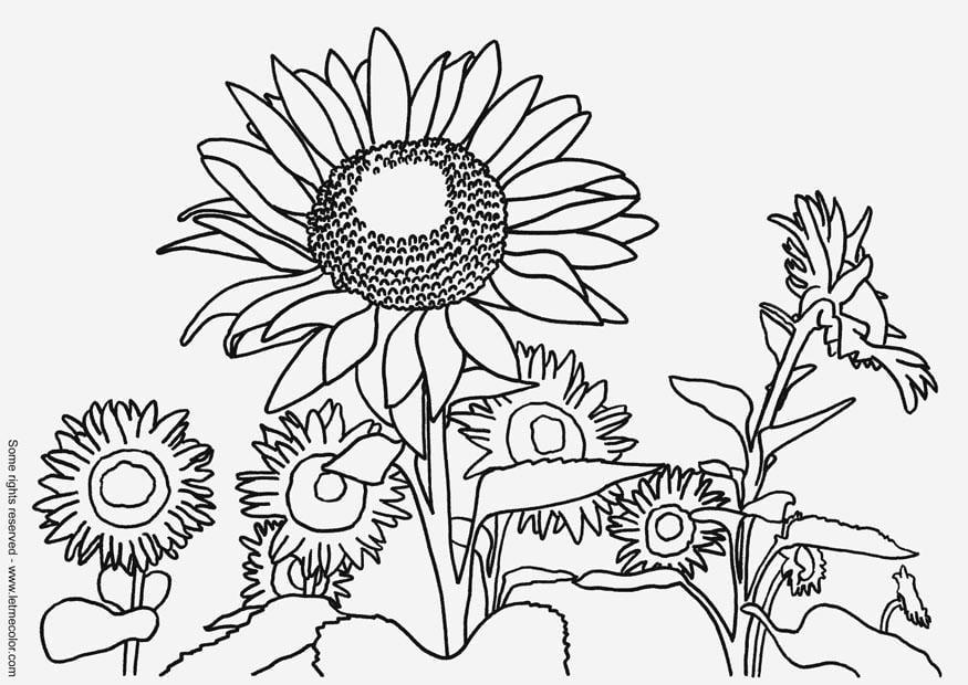 Malvorlage Sonnenblume