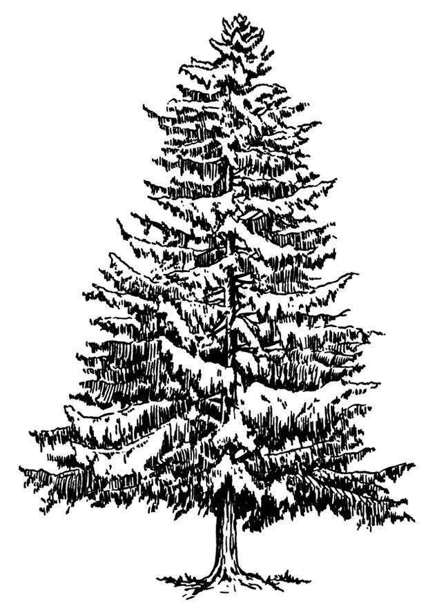 Malvorlage Tanne im Winter | Ausmalbild 12918.