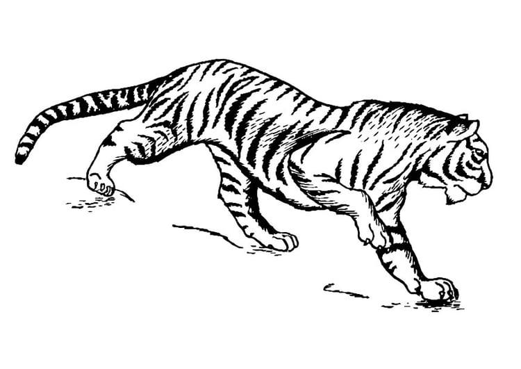Malvorlage Tiger | Ausmalbild 16629.