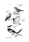 Malvorlage  Vögel