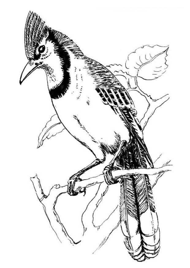 Malvorlage Vogel - Blauhäher | Ausmalbild 18833.