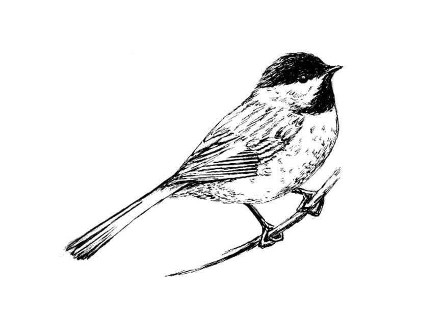 malvorlage vogel  meise  kostenlose ausmalbilder zum
