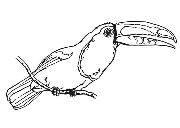 malvorlage vogel  tukan  ausmalbild 20699