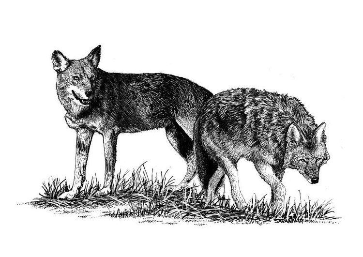 Malvorlage Wölfe | Ausmalbild 8571.