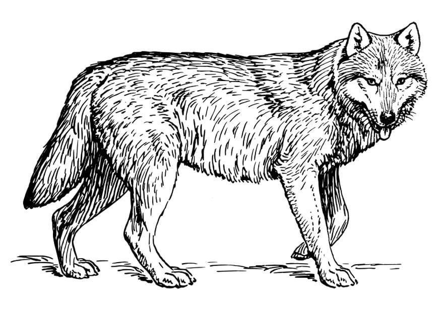 Malvorlage wolf ausmalbild 22786 - Dessin de coyote ...