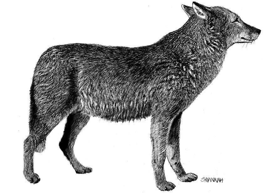 wolf ausmalbilder zum ausdrucken  heulender wolf