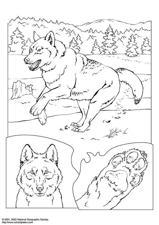 Malvorlage wolf ausmalbild 3081 - Coloriage de loup ...